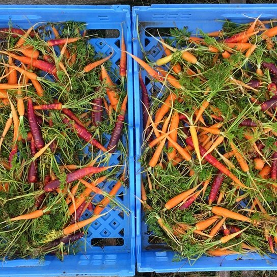 Half of today's harvest destined for NYC tomorrow......I ate the other half.  I don't feel bad, winter carrots are the best.  If you are a restaurant and want half of the next harvest, let me know. We have more whence these came.