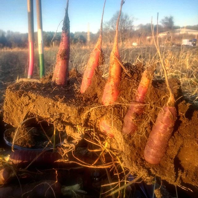 The ground finally froze, and these carrots had little interest in being harvested.  Maybe a new way to serve them @chefdanbarber ?