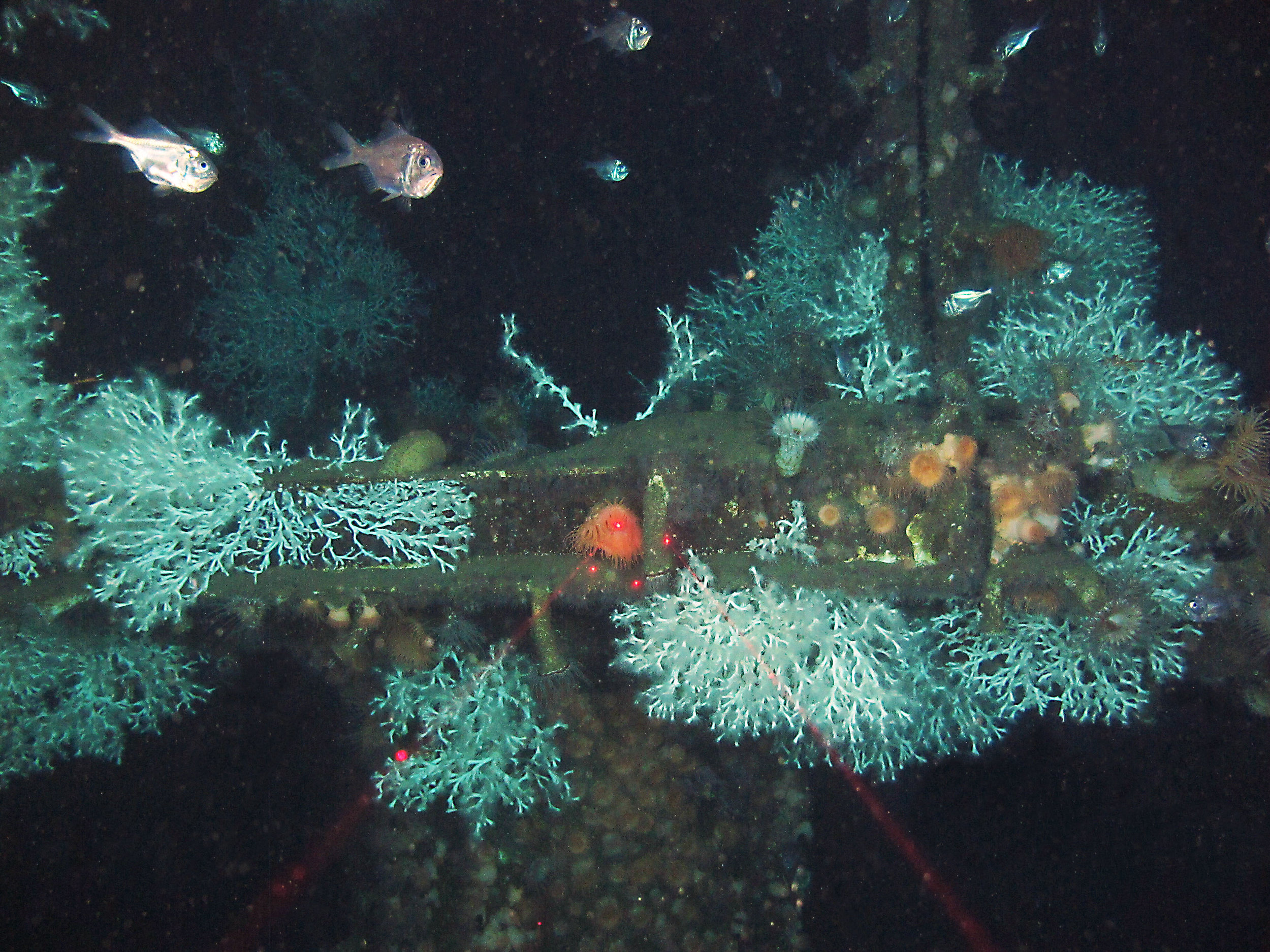 ROV Marine Life Survey: Deep Subsea Equipment - Blue Latitudes managed and designed a marine life survey using a remotely operated vehicle (ROV) equipped with video to evaluate ecological biodiversity and abundance on a subsea template and associated wells located in approximately 970 ft of water in the Garden Banks region of the Gulf of Mexico. This survey was integrated into plug and abandonment efforts to minimize vessel cost. Additionally, apparent commercial and recreational fishing activity in the area surrounding the site was evaluated. All ROV marine life and fishing activity data into a report that was presented to the United States Navy and Bureau of Safety and Environmental Enforcement. The project resulted in the first subsea equipment permitted in-situ at a depth shallower than 1,000 ft.