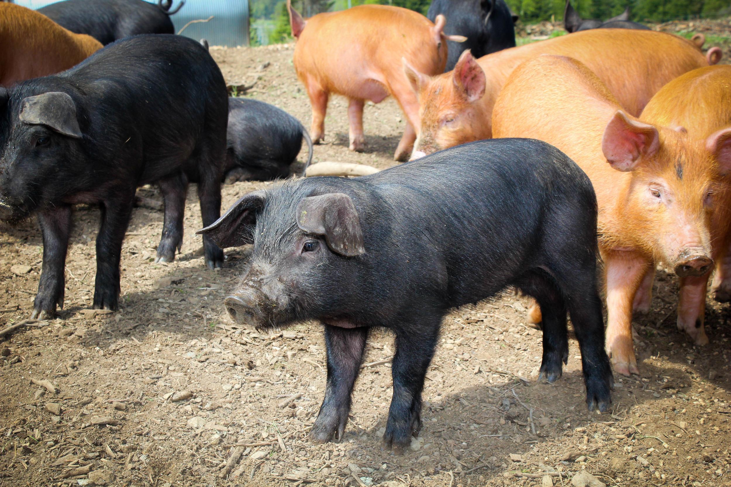 pigsday1-2-1.jpg