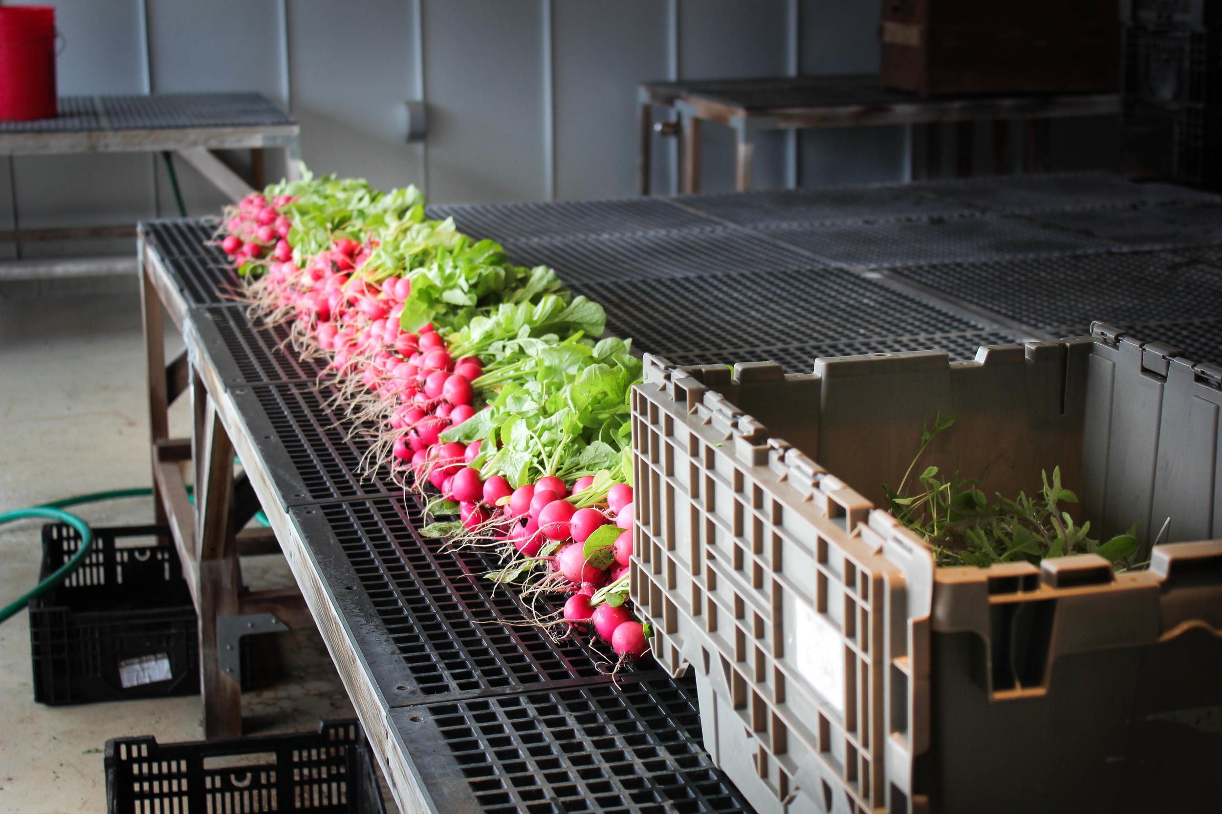 radish washing station-1.jpg