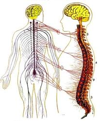 Zone-3-Nervous-System.jpg