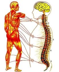Zone-5-Muscular-System.jpg
