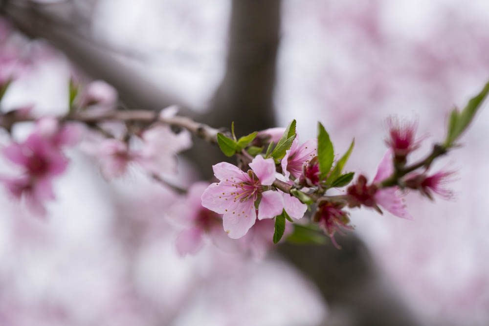 philiosophy-studios-engagement-session-spring-orchard-blossoms-vineyard-bride-swish-list-vendor-niagara-toronto-wedding-photographer024.JPG