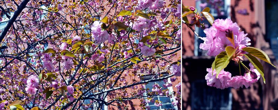 cherry blossoms.jpg