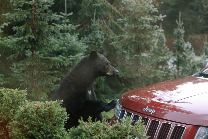 Black Bear on Jeep | Mallorie Owens