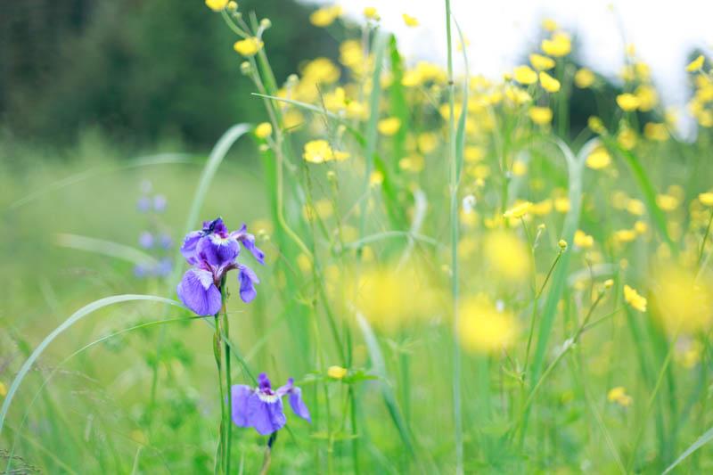 Wild Irises, Juneau, Alaska | MALLORIE OWENS