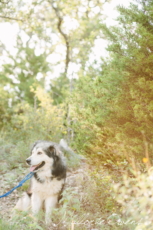 Alaskan Malamute Rescue in Austin, Texas | MALLORIE OWENS