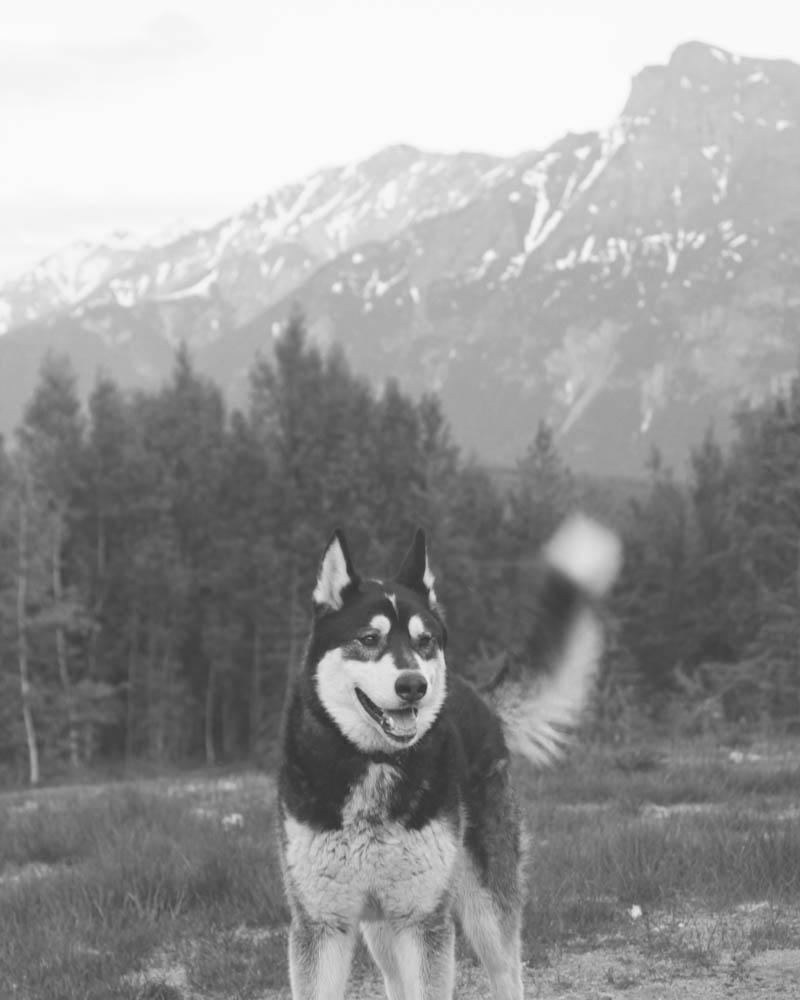 Alaskan Malamute in Anchorage, Alaska | MALLORIE OWENS