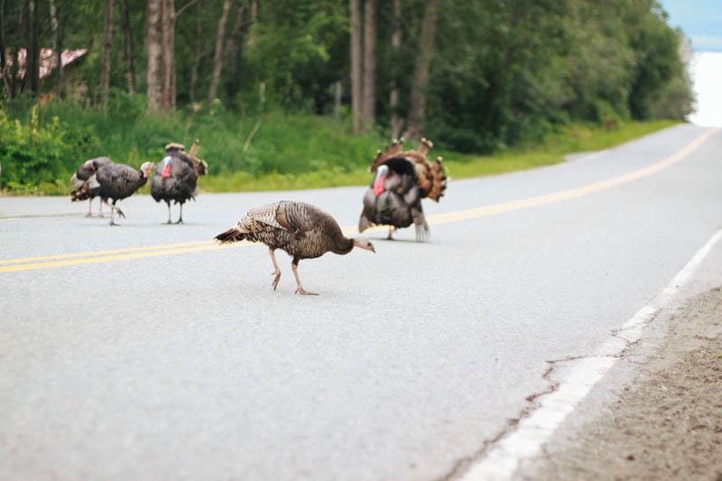 Wild Turkey in Girdwood, Alaska.