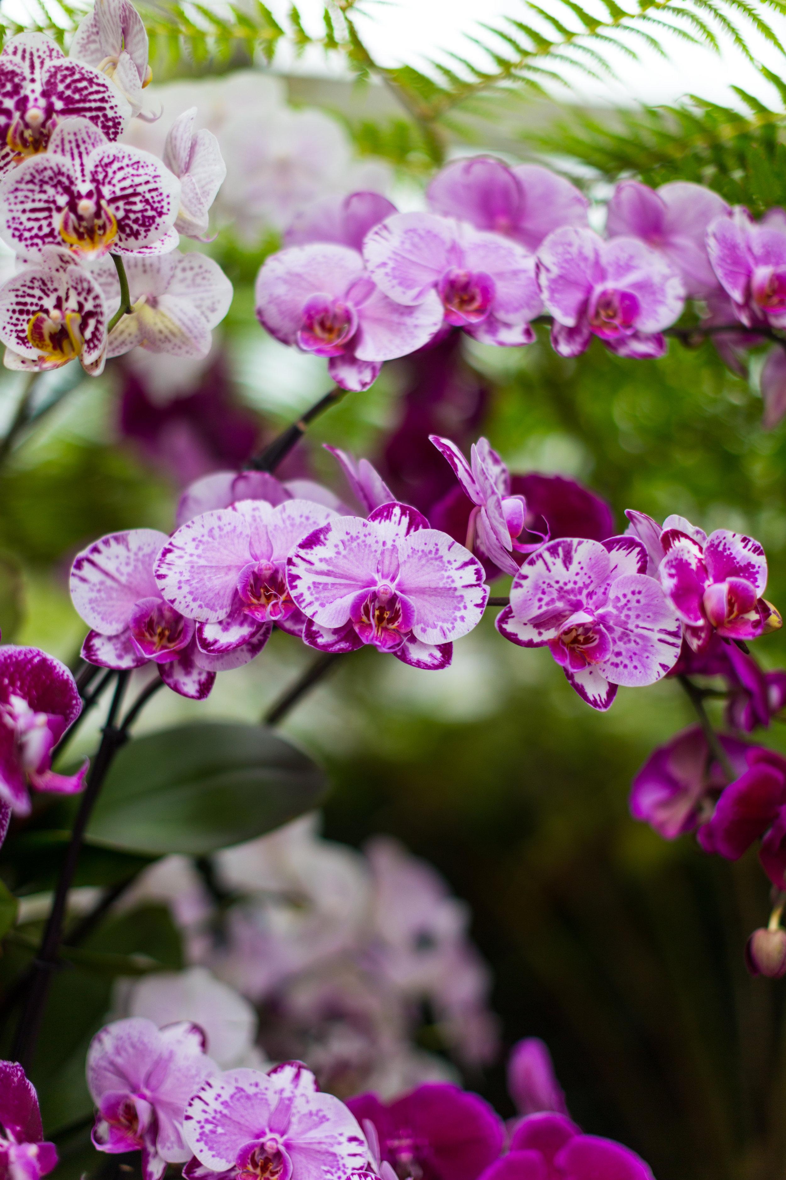 Orchid New York Botanical Garden Spring_-6.jpg