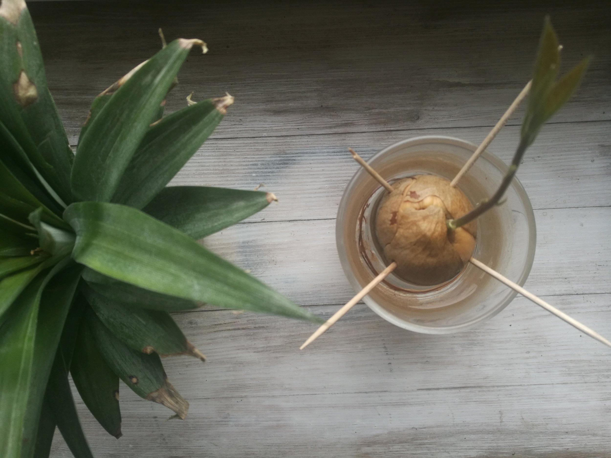 Stoga smo od tamo dopremili ovo što, trenutno, klija u našoj kuhinji; avokado (desno), ananas (lijevo) …