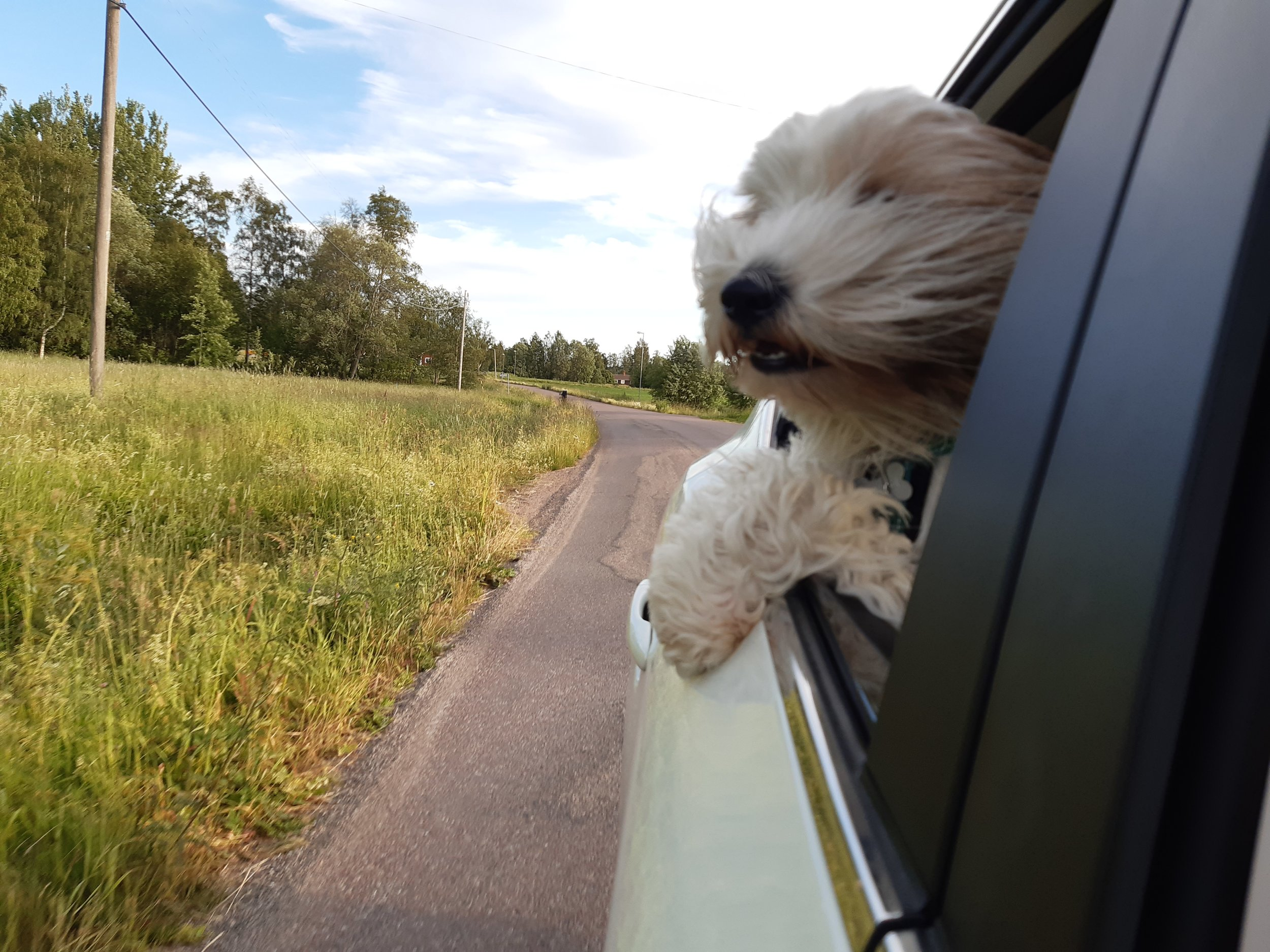 - When your dog loves the feel of the wind in his hair!