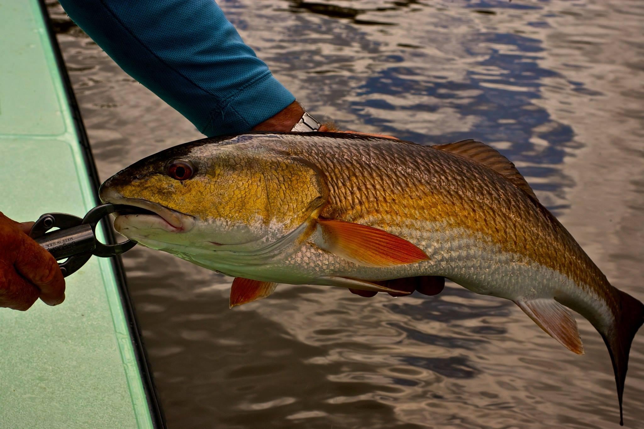 everglades-redfish-3.jpg