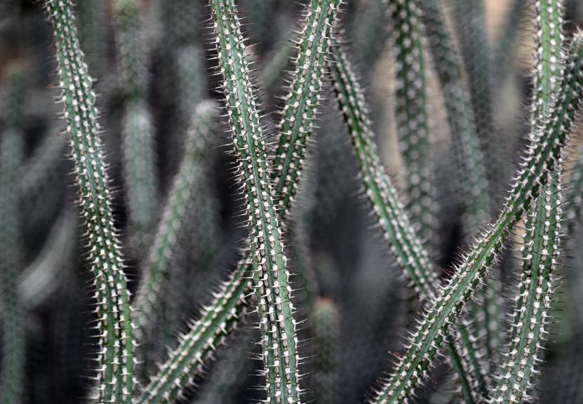 spider cactus_sm.jpg