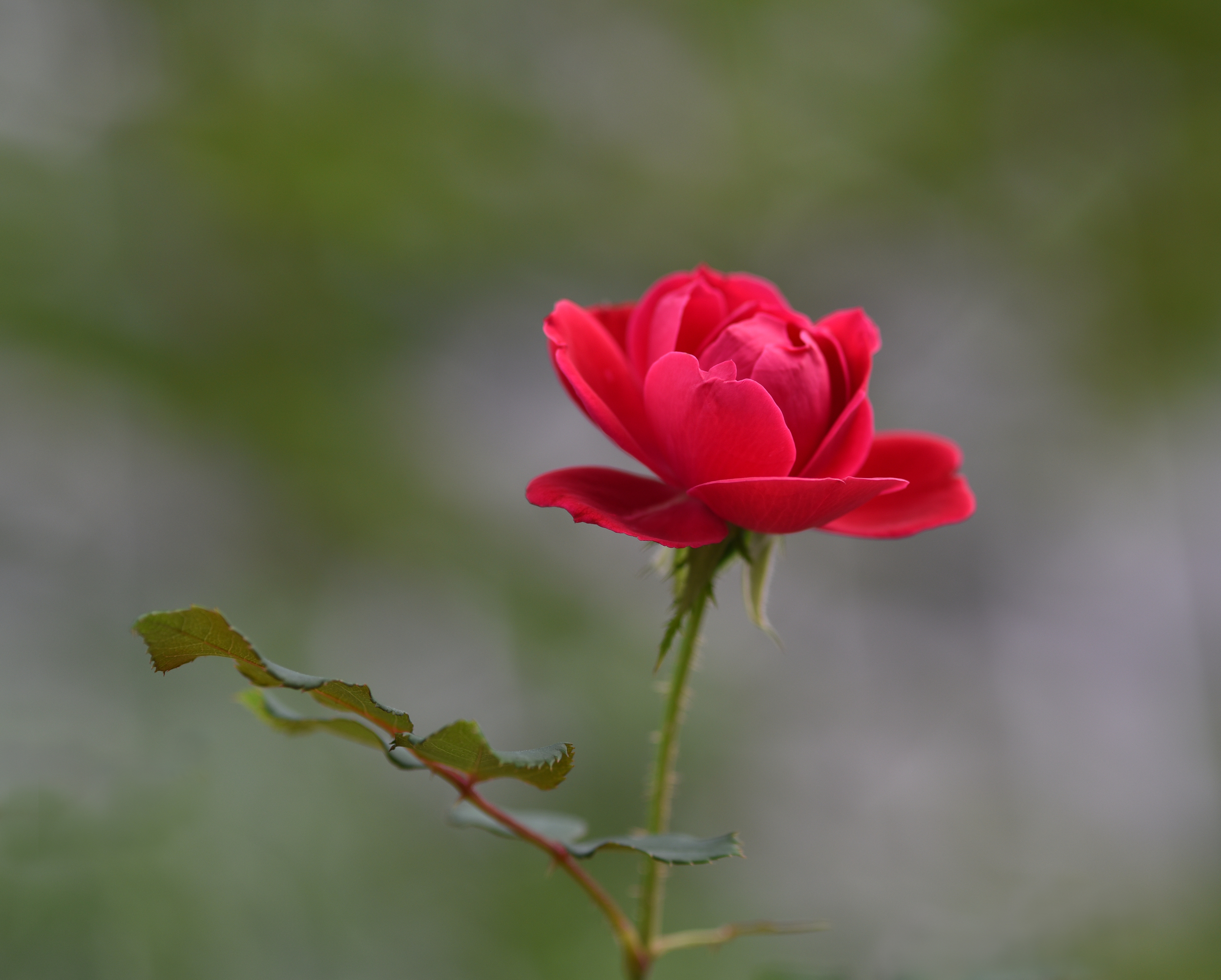 rose_6557.jpg