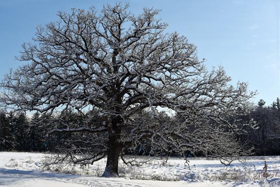 oak treesm_8213.jpg