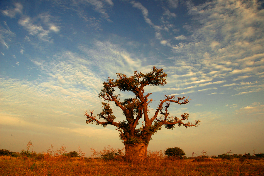 A Baobab Tree Can Live for more than 6,000 years!