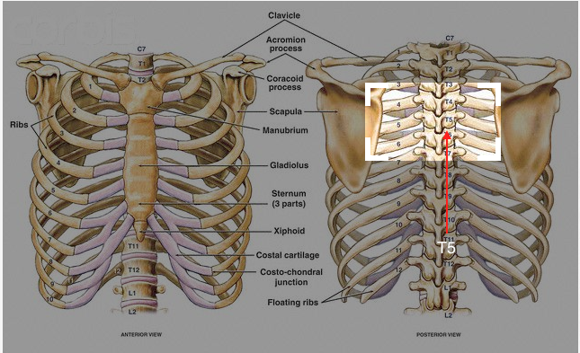 Spine View - Rib Cage