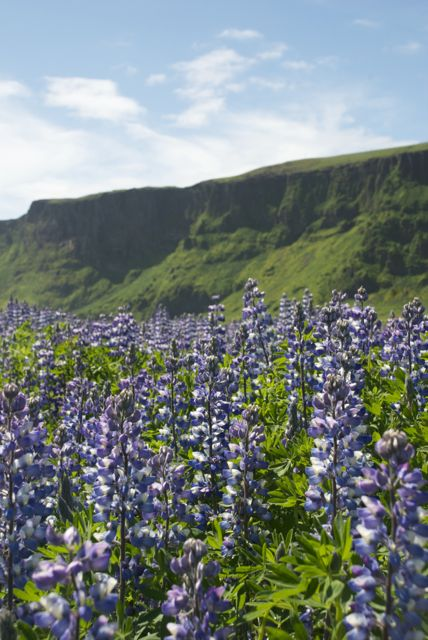 Reynishverfi, Iceland - Flowering Lupen
