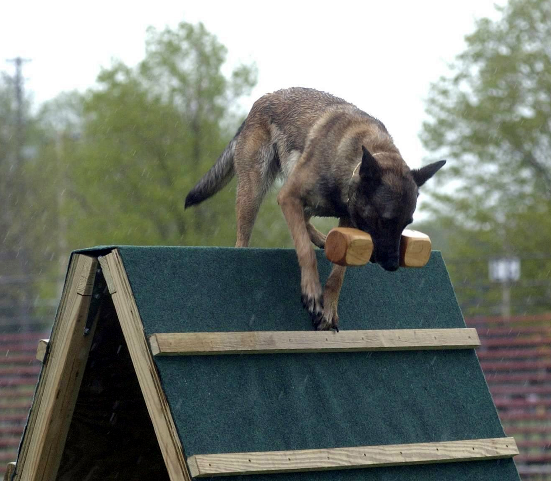 Luna retrieve dumbell over wall 002.jpg