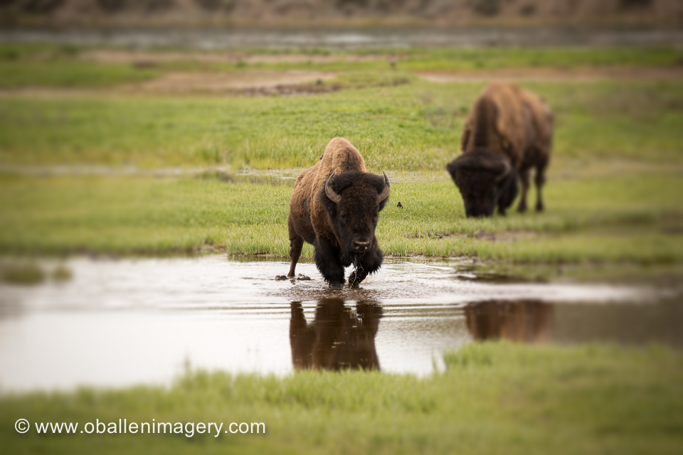 Bison in Hayden Valley.