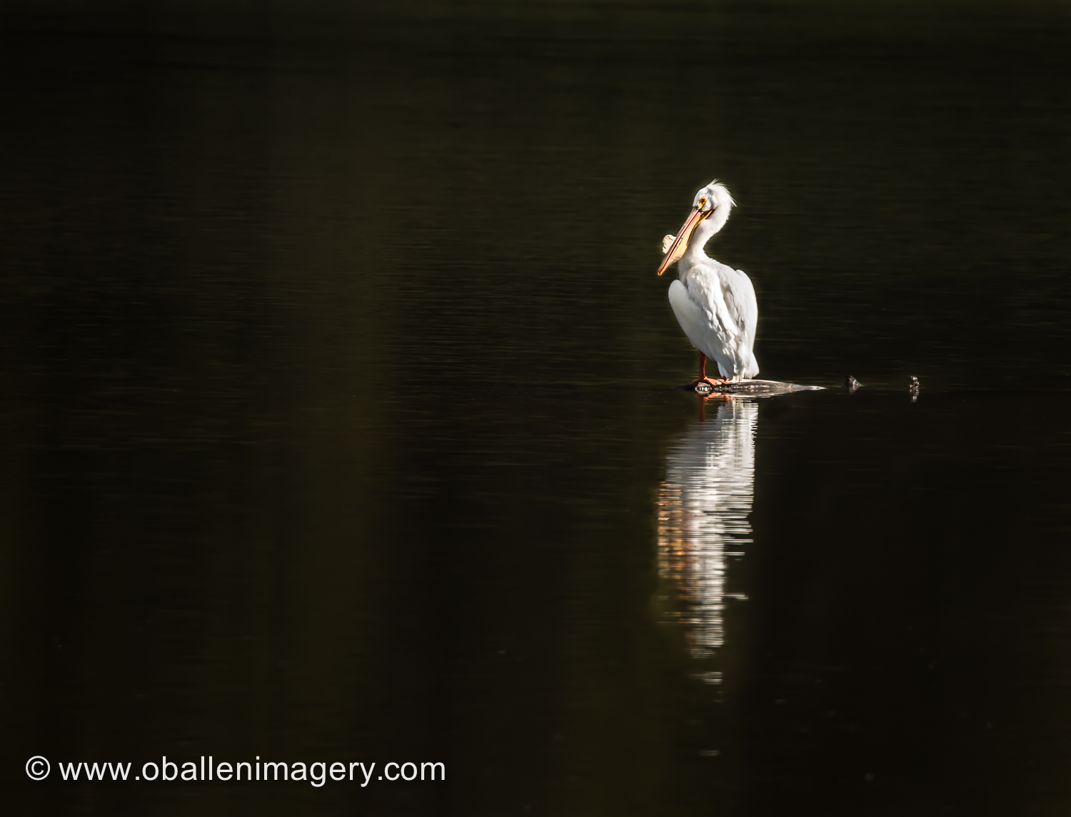 We had the opportunity to photograph this pelican. We were able to enjoy watching him and another companion.