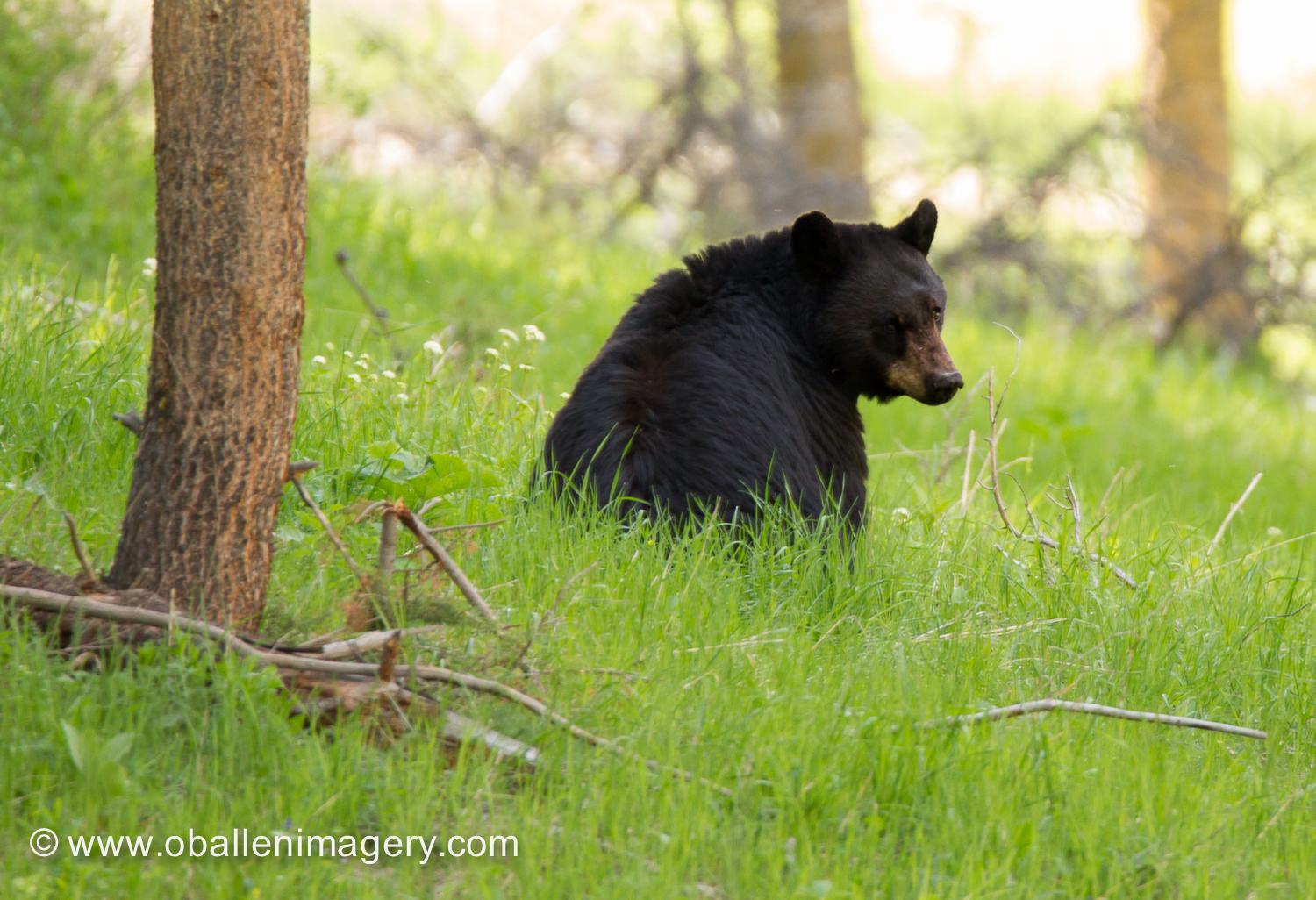 This bear was seen near the Roosevelt corrals.