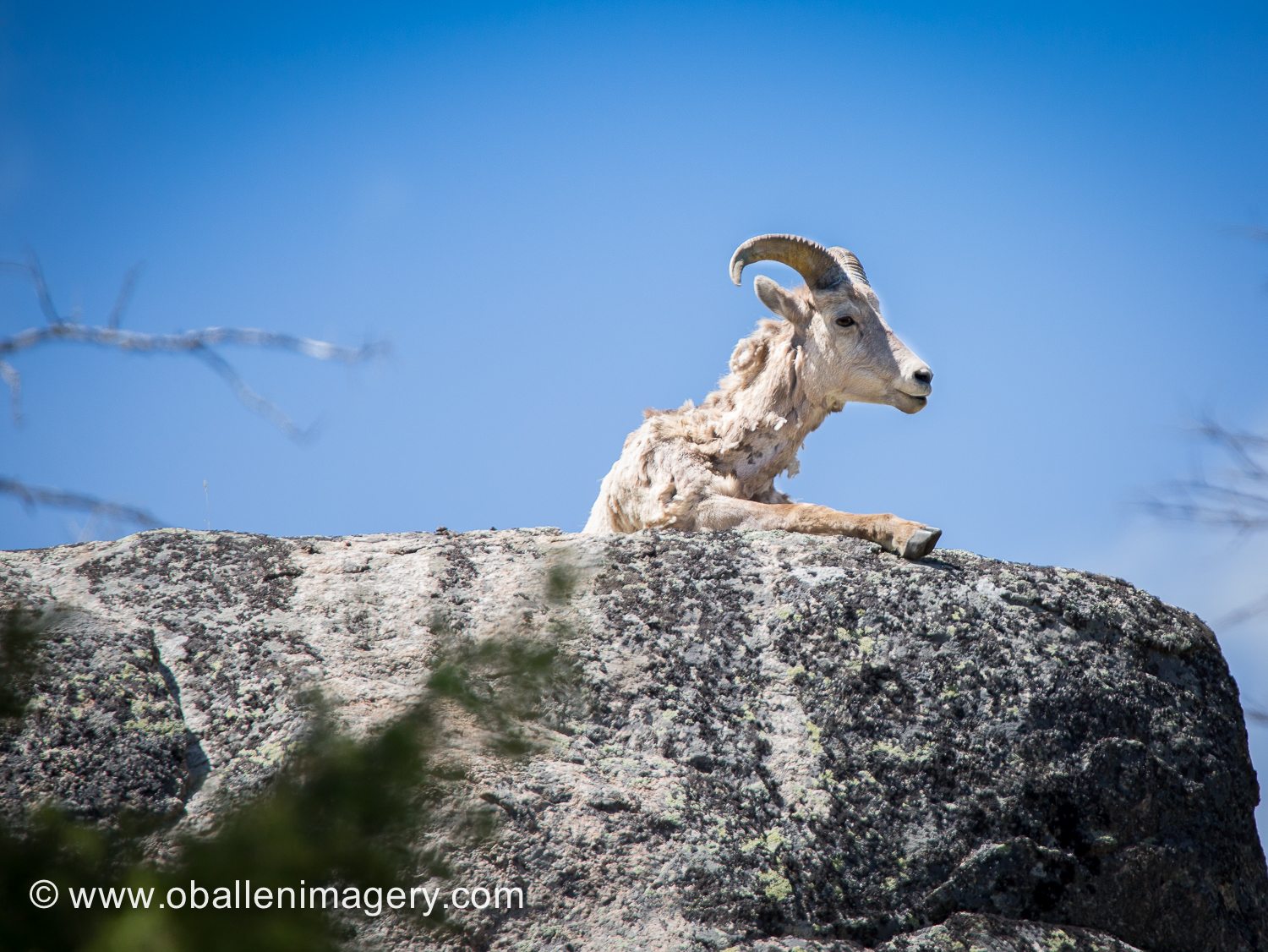 This young ram had a very nice perch east of the new Calcite Springs parking lot. He could overlook a very large area and did not look like he was intending to move anytime to soon.