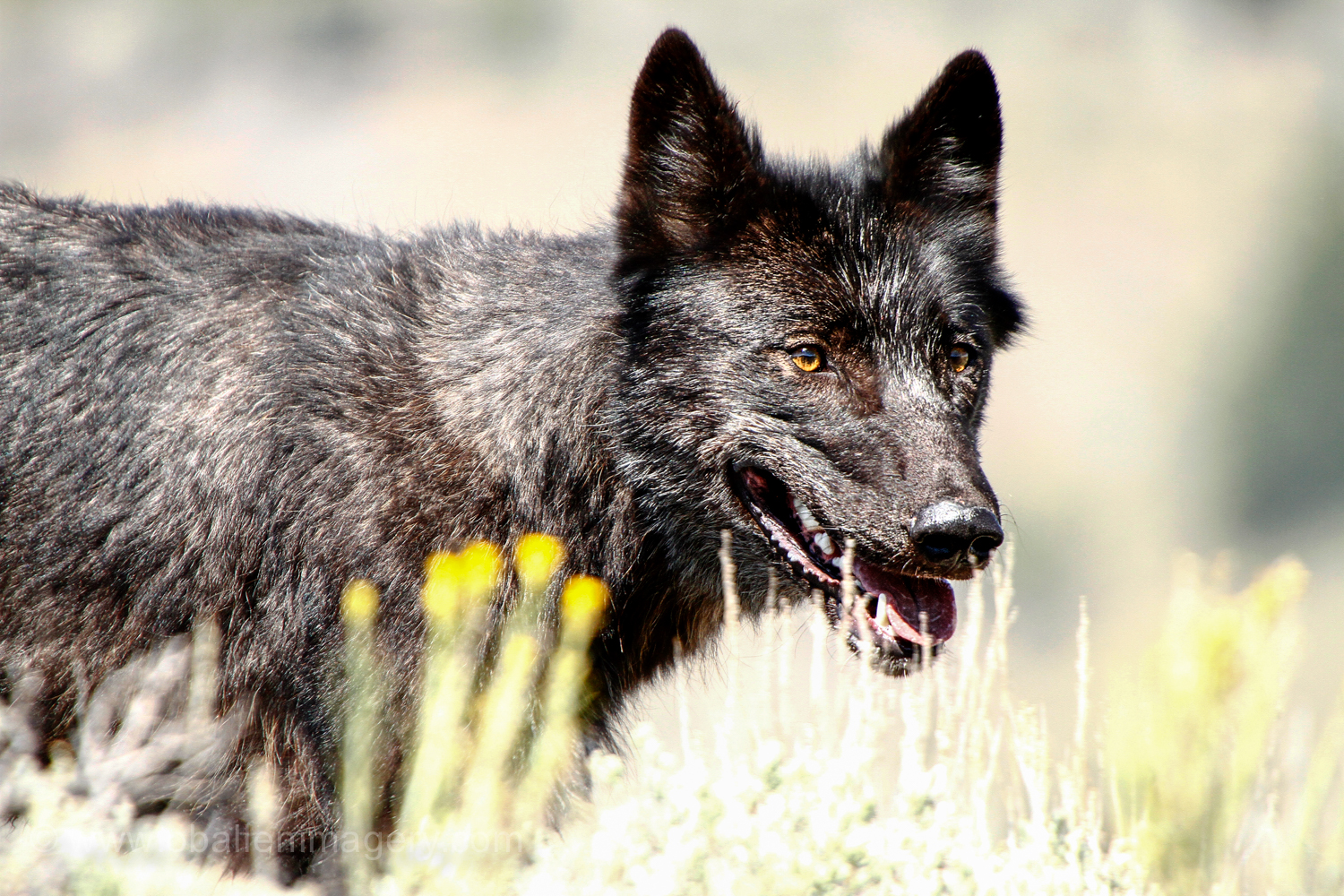 This wolf was photographed in Lamar Valley.