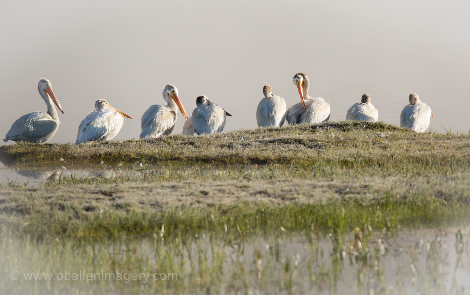 Pelicans along the Yellowstone River.