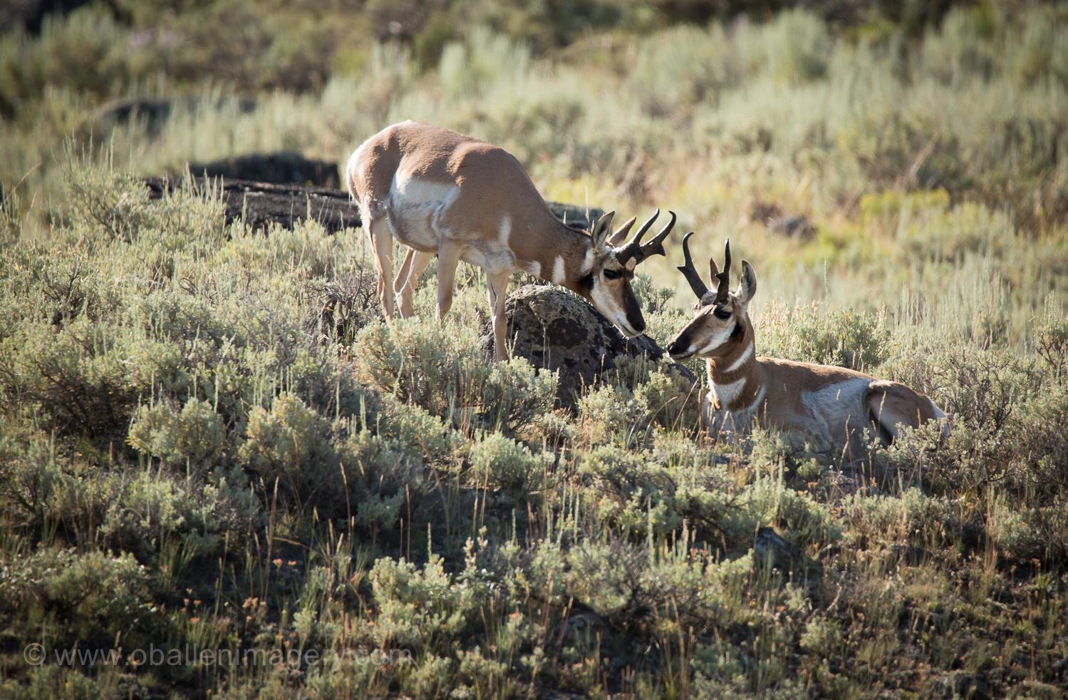 Antelope in Lamar Valley