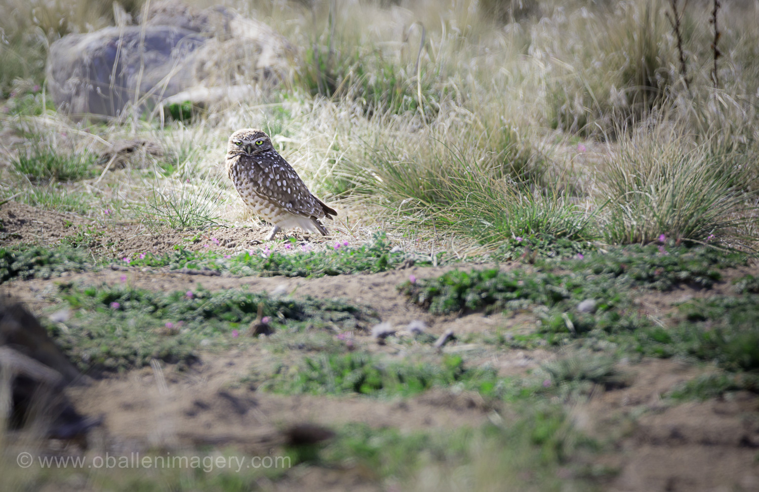 I have never had the opportunity to see a Burrowing Owl.