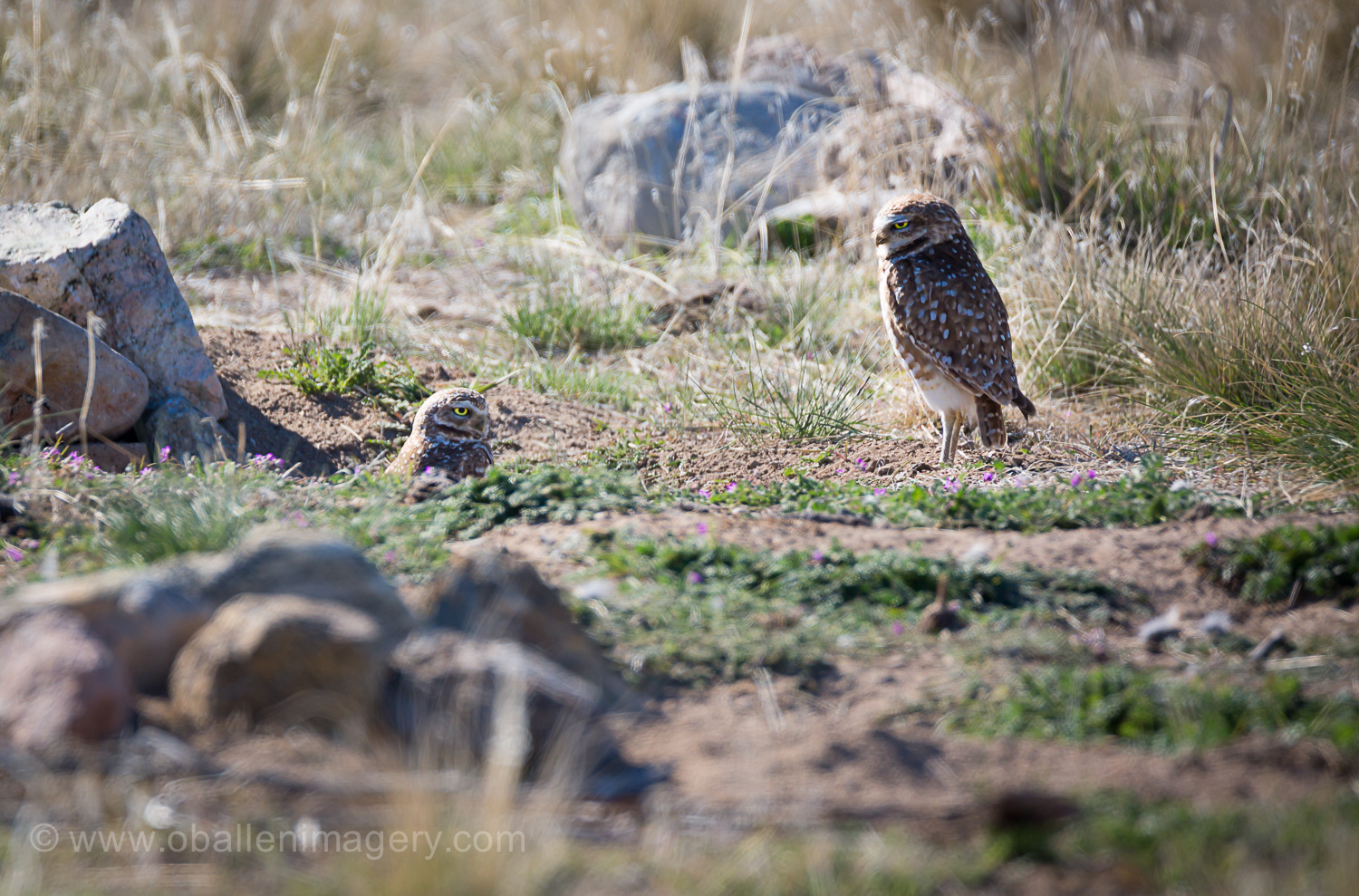 It is possible that it is a male but it was extremely attentive. Sometimes males aren't quite that watchful.
