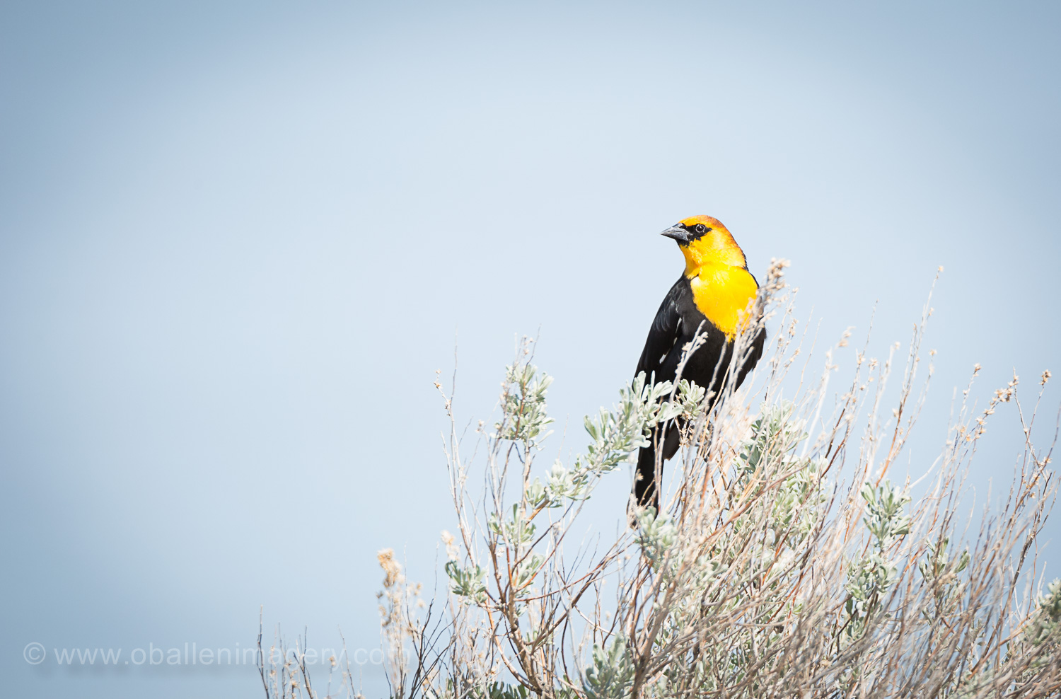 I am thinking a yellow headed blackbird. What do you think?