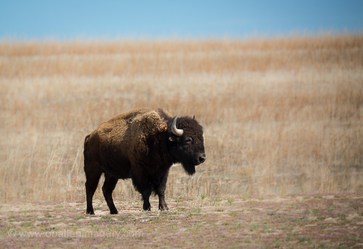 Antelope Island is very famous for their Bison herd. They are just coming out of winter and they look a little thin. The grass is greening just give them a little time and they'll put on some much needed weight.