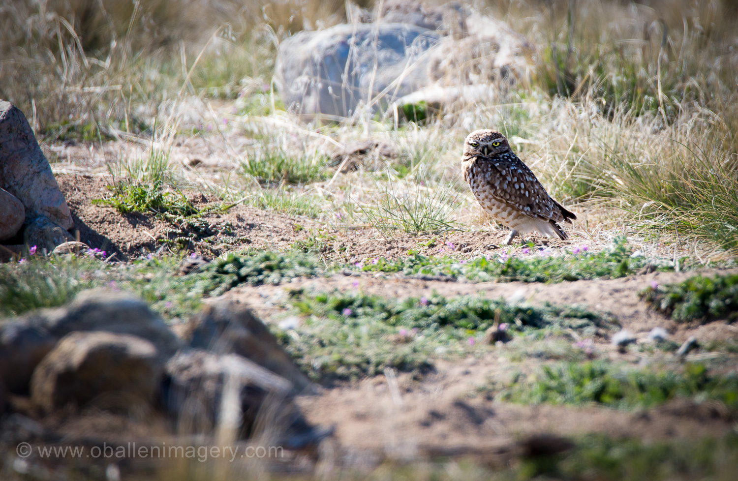 The Burrowing Owl was found on the way to the campground. Notice the baby near the rock on the left.