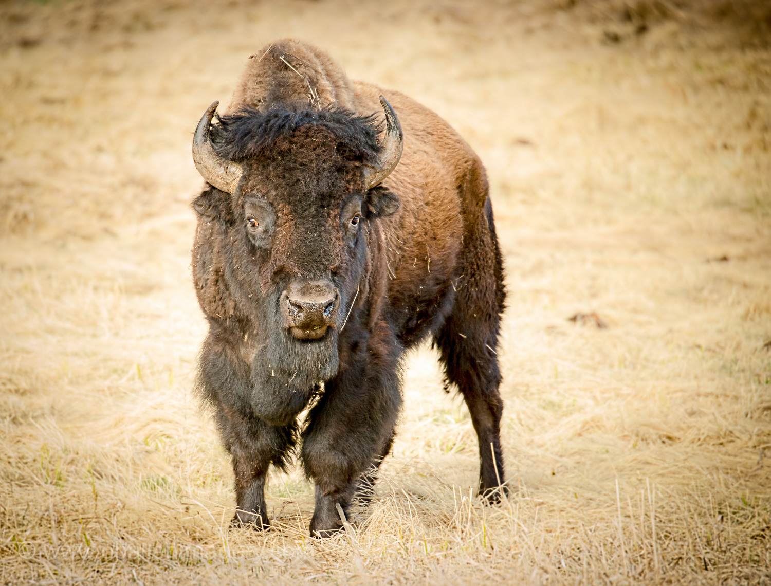 Beautiful Bison photographed in April near Roosevelt Lodge.