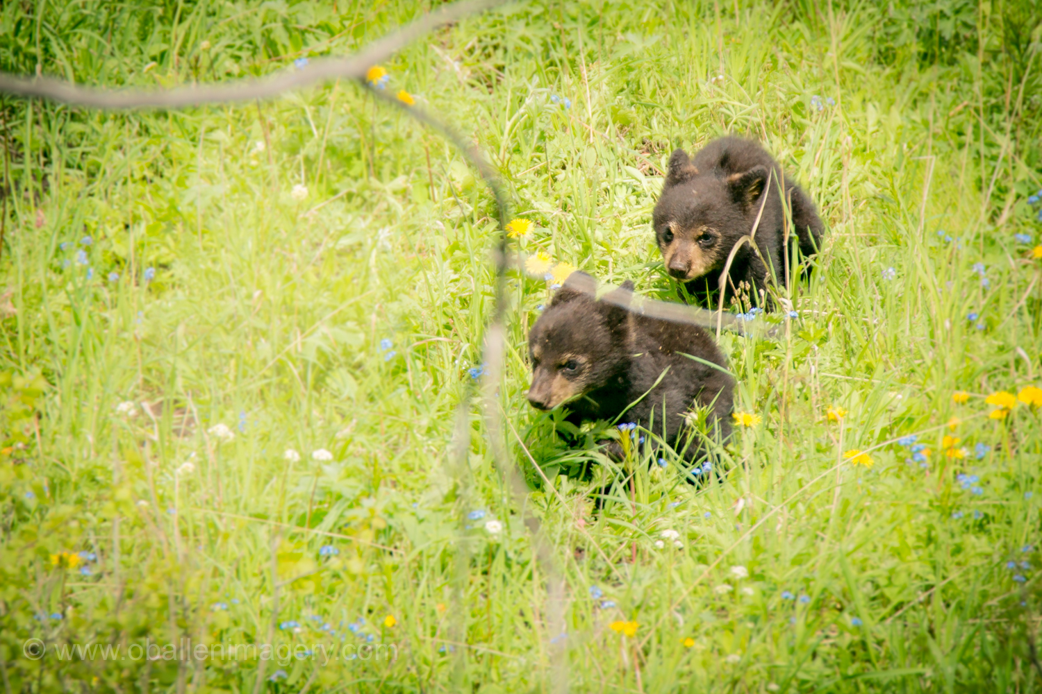 These cubs entertained many people for quite a while on this beautiful day.