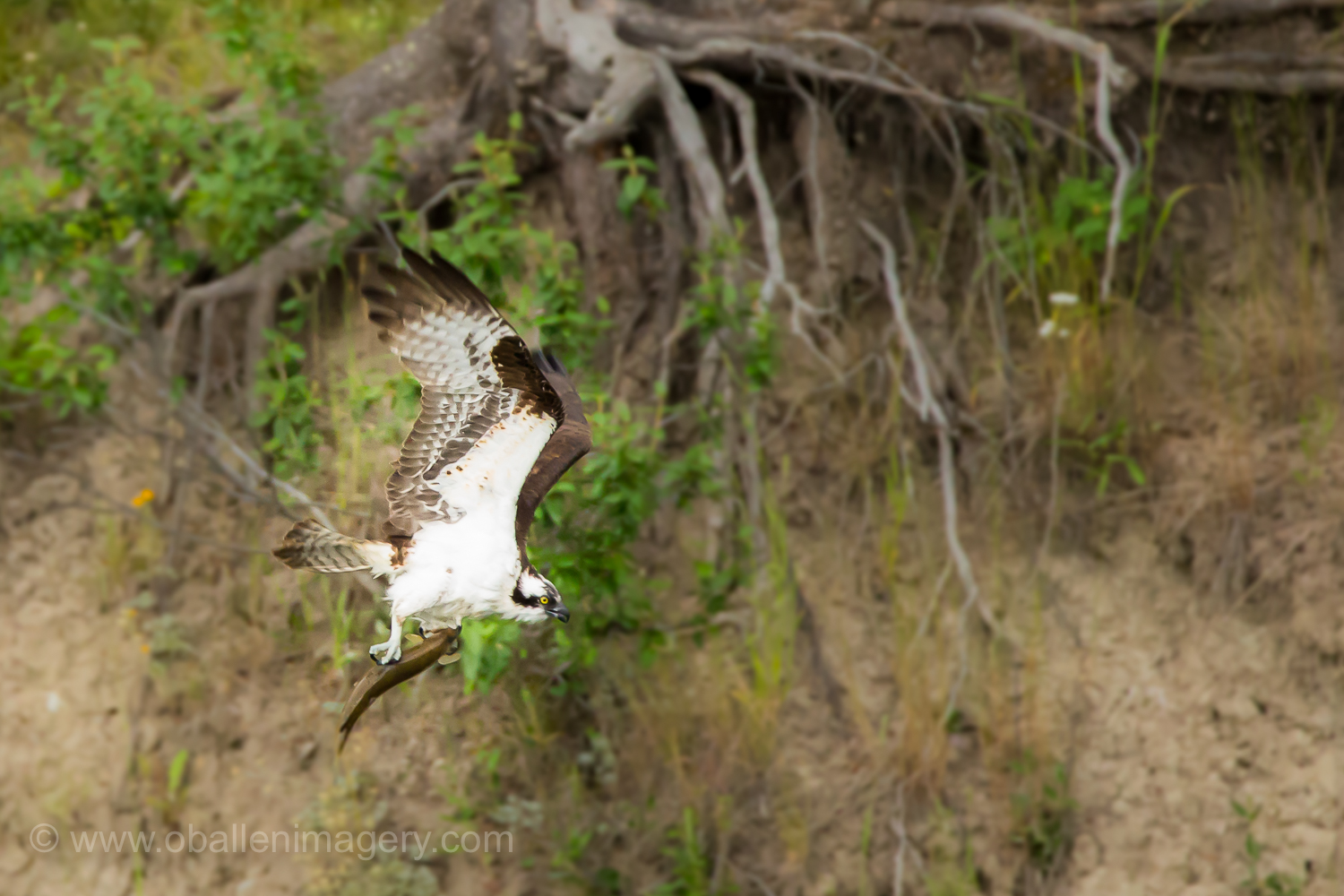 The tenacious osprey with dinner in its talons.