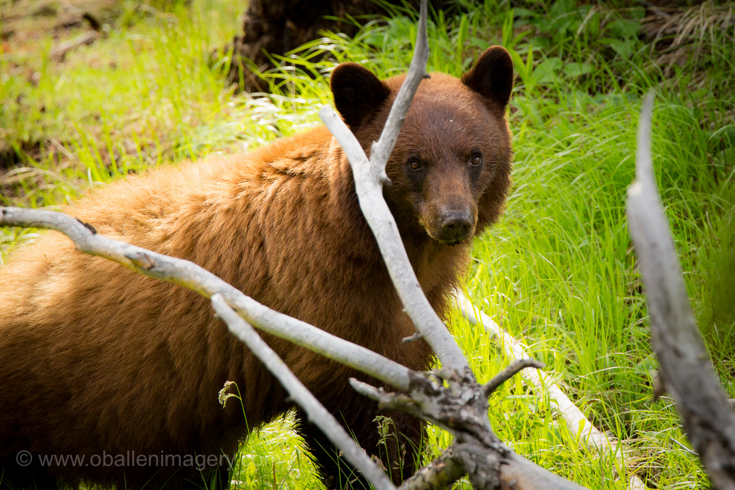 This brown phase of a black bear was located near Tower Falls area. He was a beautiful animal that was enjoying the new spring grass.