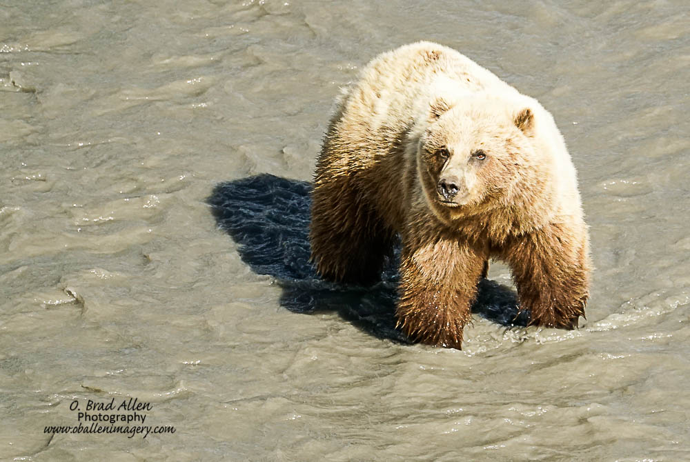 """We were also able to view this """"Brown Bear"""" grizzly. She was an impressive animal."""