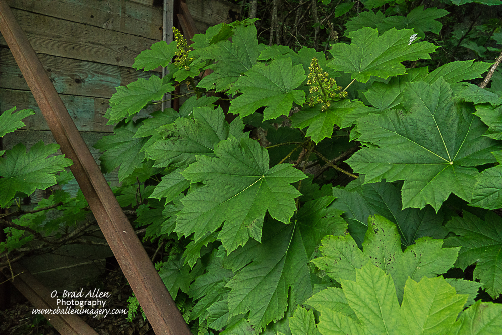 The largest wild raspberry plants I have ever seen. They are bigger than a large dinner plate,amazing.