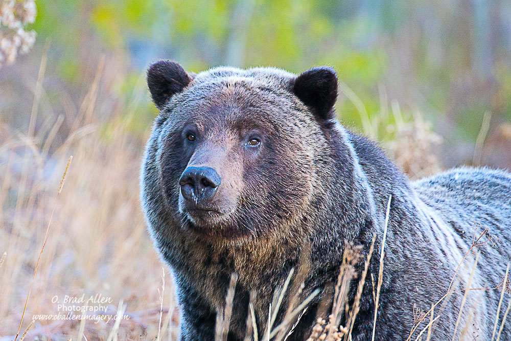 Grizzly in the north part of Grand Teton National Park.