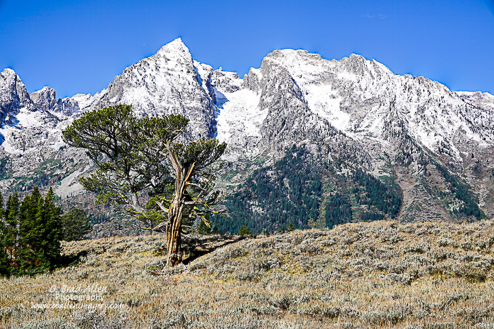 This is an image near Jackson Hole, WY.The area is in the northern part of the park.It is one of my favorite hikes. As you can tell I have a lot of favorites. This hike is only about 1 1/2 miles but it is one of those that I still need a GPS to locate. This tree is said to be one of the oldest in the area and still stands watch over these majestic mountains.