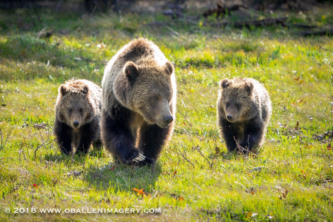 It is always a treat to see Blondie and her cubs. They were peacefully eating and enjoying the evening.
