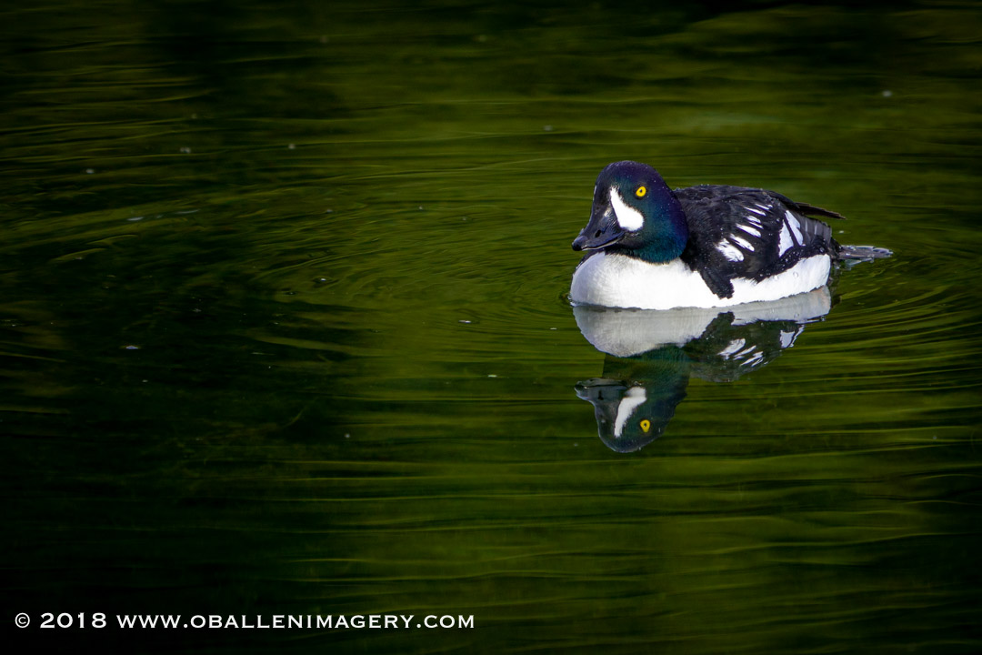The beautiful Golden Eye were very active at the Landing.