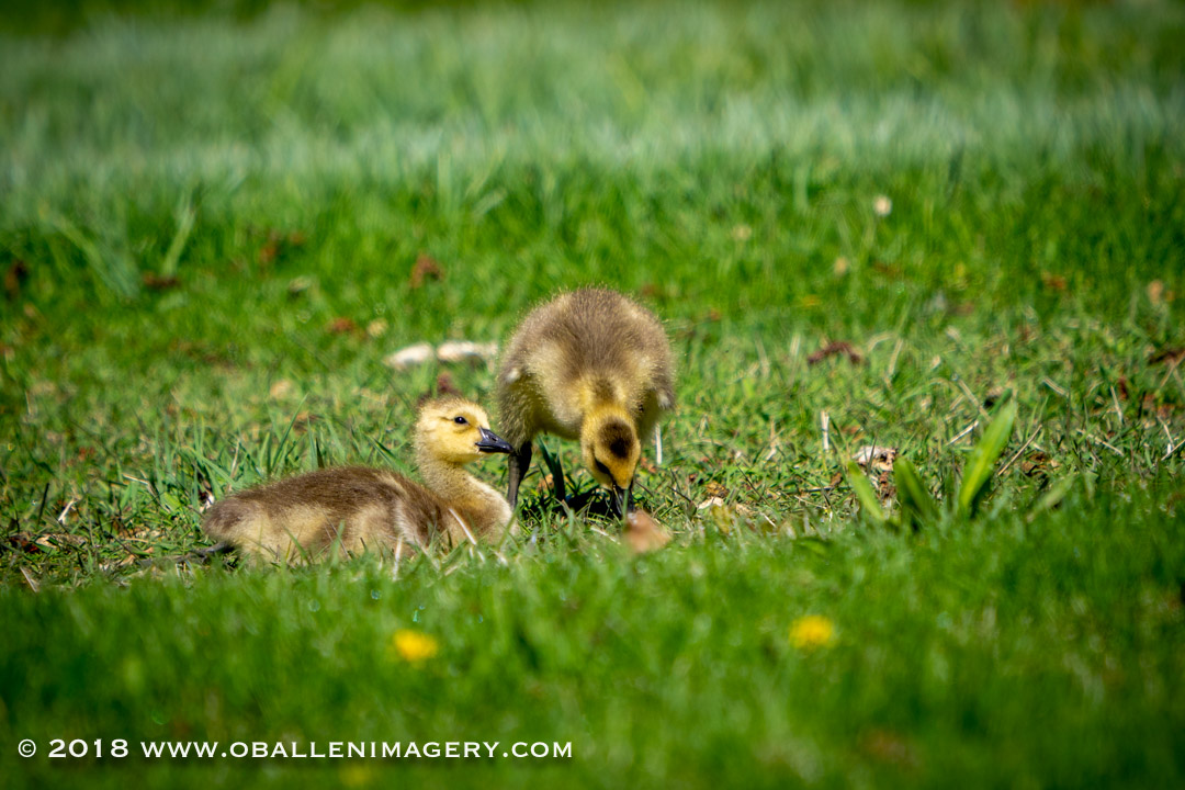 I have always wanted to photograph the Canadian ducklings.