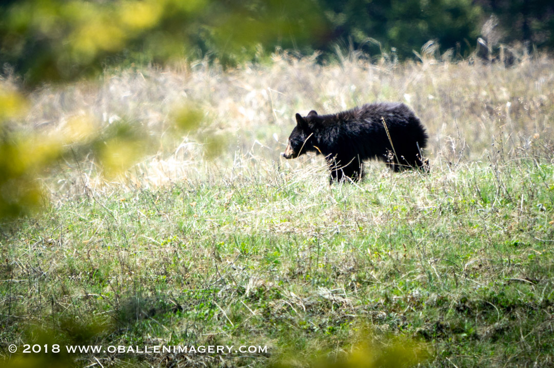 There was a very young black bear that must have been kicked away by him mother. He sure looked tiny up on that big hill.