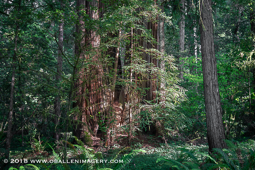 Redwoods-13.jpg